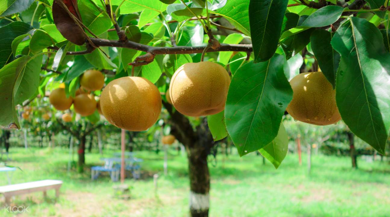 pear in japan